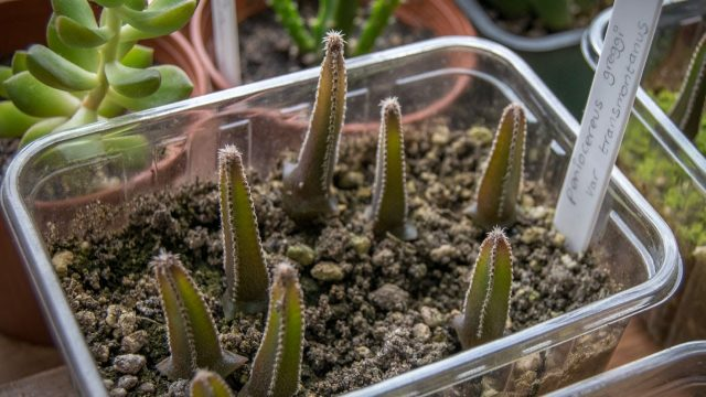 My Cacti Seedlings from my 'How to grow Cacti from seed' video update