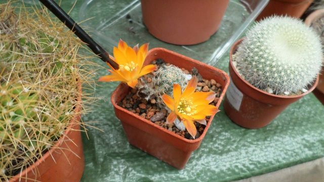 How to pollinate Cactus plant flowers – Rebutia cacti