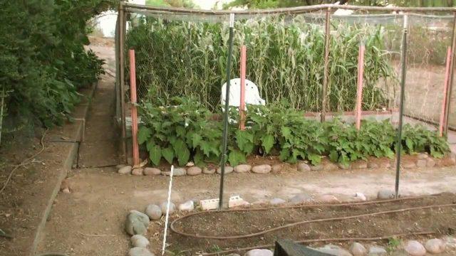 Phoenix Vegetable Garden Update June '12