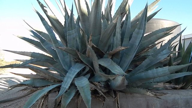 MY BIGGEST BLUE AGAVE CACTUS ARIZONA LANDSCAPING SUCCULENT XEROSCAPE