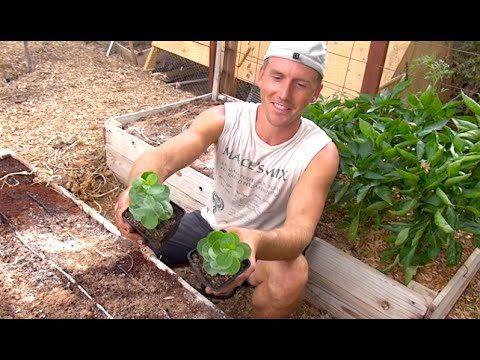 Growing Caper Plants in my Arizona Garden – Capers!