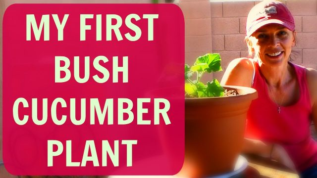 How to Grow Cucumbers in Containers or Pots – Vegetable Garden in Arizona – Container Gardening