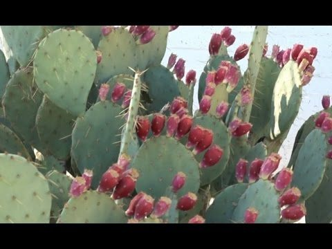 Edible Landscaping: Prickly Pear Cactus for Breakfast
