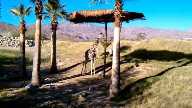 Living Desert – Palm Desert, CA Giraffe's Sept 2010