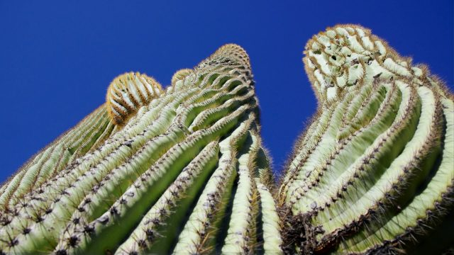 Tucson Cactus and Succulent Society on a rescue mission