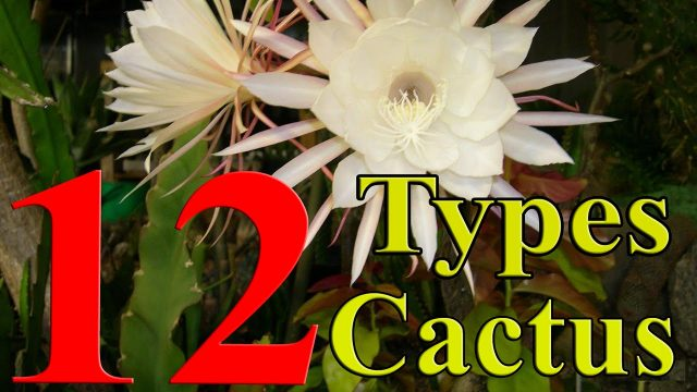 Cactus Plants – 12 Types of Cactus you can Grow at Home