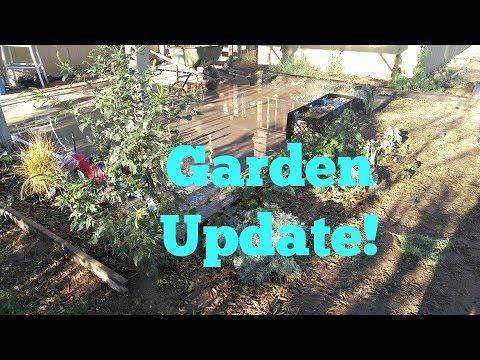 Front Desert Garden Update: big Amaranth & new morning glory!