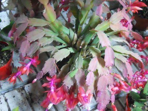 Cuidados y Mantenimiento del Cactus de Bosque – TvAgro por Juan Gonzalo Angel
