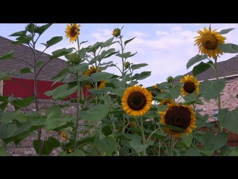 Backyard Sunflower Garden