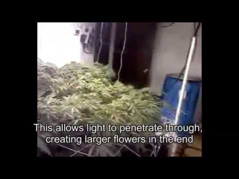 Growing Pineapple Marijuana Plants in Arizona Day 10