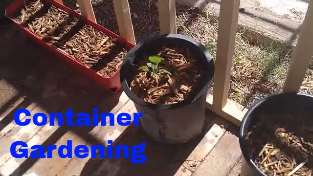 Update on our container gardening in Arizona!