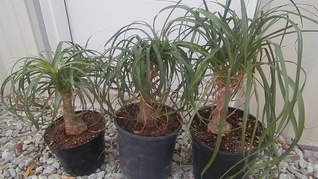 NEW PONYTAIL PALM TREES TROPICAL PLANT FOR ARIZONA LANDSCAPING