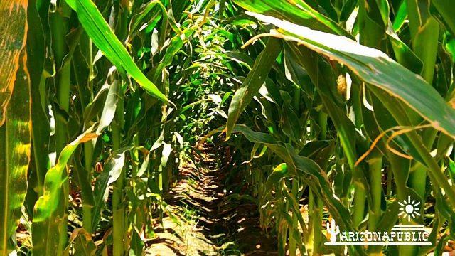 Amazing Arizona Desert Corn