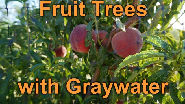 Growing fruit trees with graywater… in the desert!
