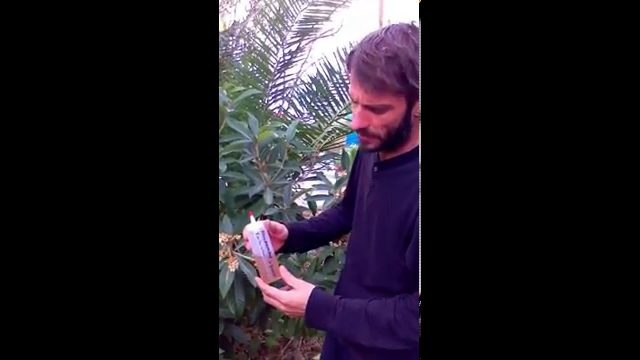 How to grow a loquat tree in the desert of Phoenix Arizona!