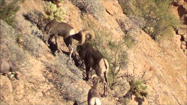 Ernie Meeske's Arizona Desert Bighorn Sheep Video