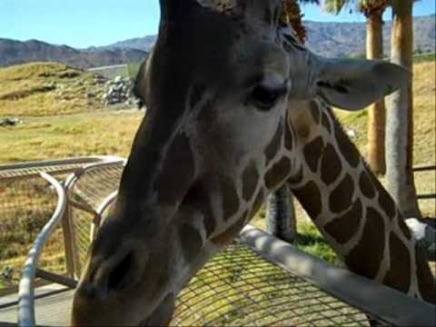 Feeding Time For a Giraffe at the Living Desert Zoo and Gardens, Palm Springs California