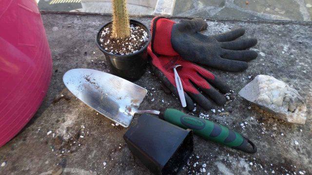 Re potting my Cleistocactus baumannii cactus plant