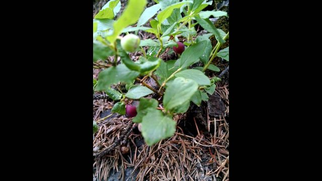 Edible and medicinal plants; bilberry white mountains arizona hiking