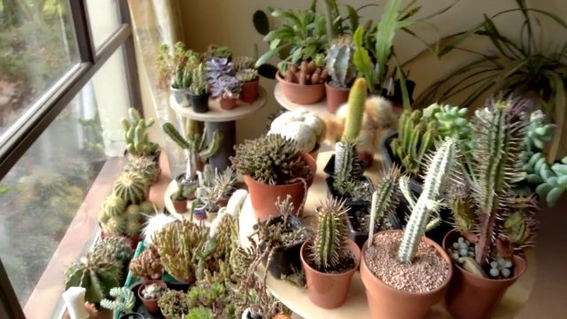 Overwintering my Cacti & Succulents in my home & Before & After Plant Tour