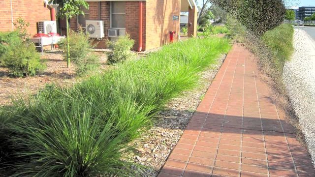 TANIKA® Lomandra is a drought tolerant landscape plant | Strappy Leaf Plants
