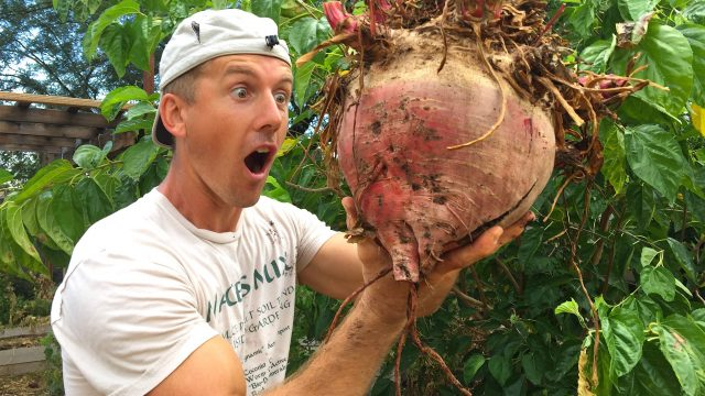 Largest Beet Ever Grown?  Backyard Gardening