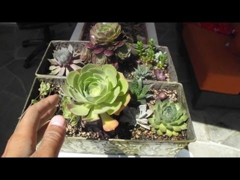 How to grow Baby Cactus and Succulents from Leaves! Works every time!