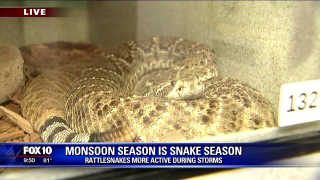 Monsoon season means snake season