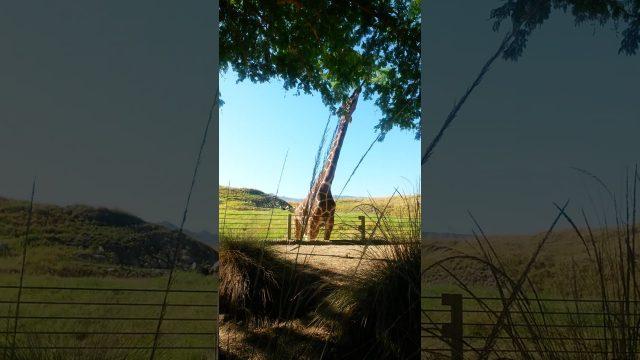 Girafe Living Desert Palm Desert Zoo