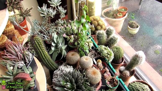 My Cacti & Succulent Plants end of January 2017 Update