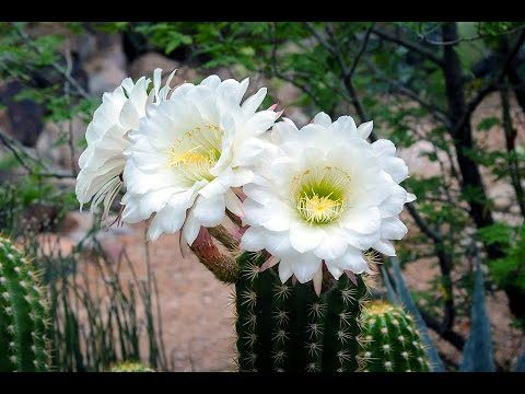 Have You Ever Seen the Beauty of Desert Flowers   Then Visit Desert Botanical Garden, Phoenix, USA
