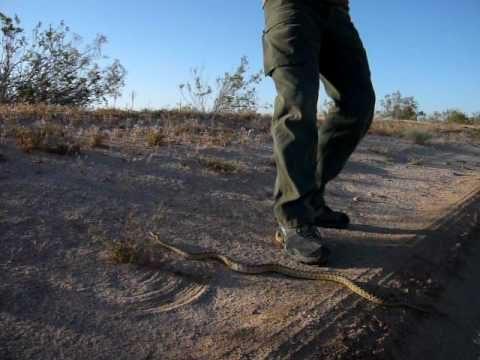Mojave Desert Snake