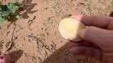 Growing Potatoes in Arizona