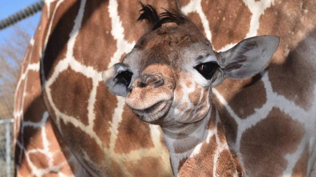 The Living Desert Giraffe Baby 2016