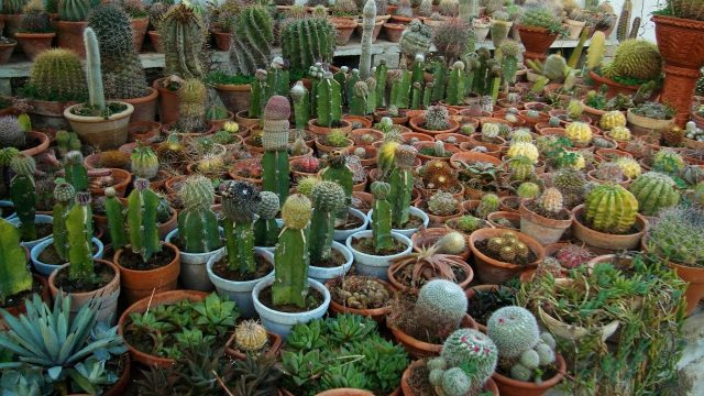 Cacti & suculent Plants display ( Cactus Garden )
