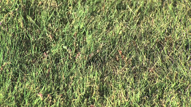 Drought Resistant Turfgrass