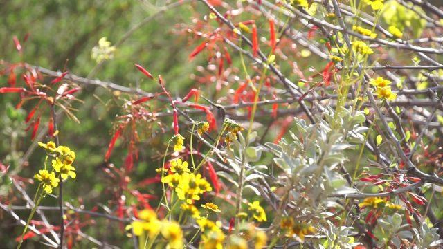 Hummingbird 1 – Phoenix Desert Botanical Garden – March 31, 2017