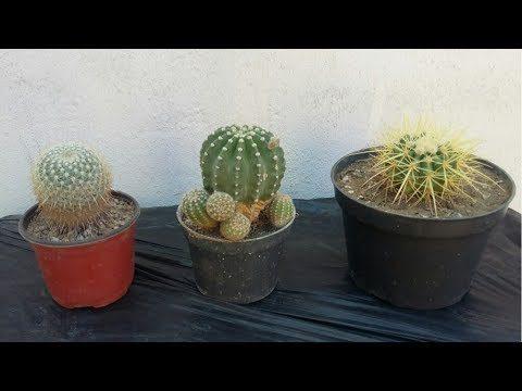 Cactus cultivados en interior (Experiencia)