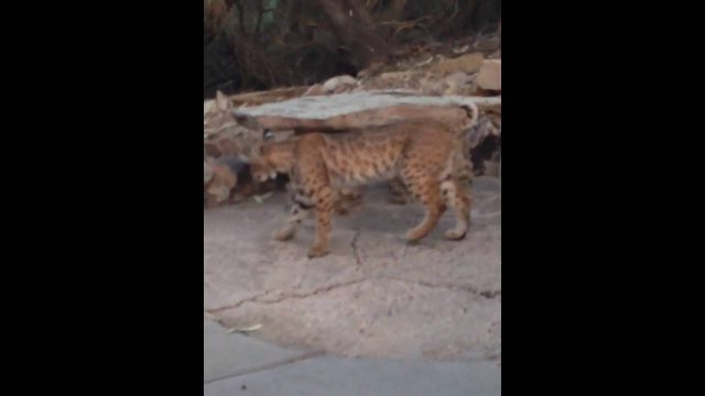 A bobcat visits the Wrigley Mansion in Phoenix part two
