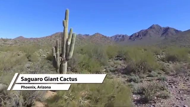 Flying amongst the Giant Saguaro Cactus trees in Phoenix, Arizona