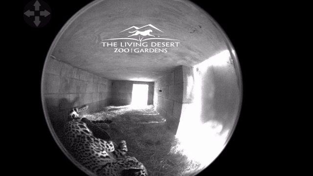 Jaguar Cub at The Living Desert