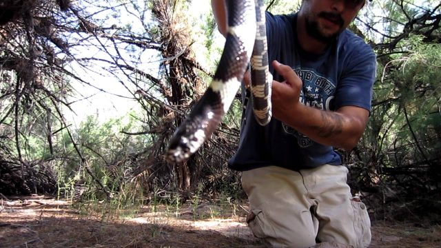 California Kingsnake at the Salt River in Arizona