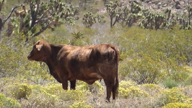 Wild cows / feral cattle in the desert of Arizona
