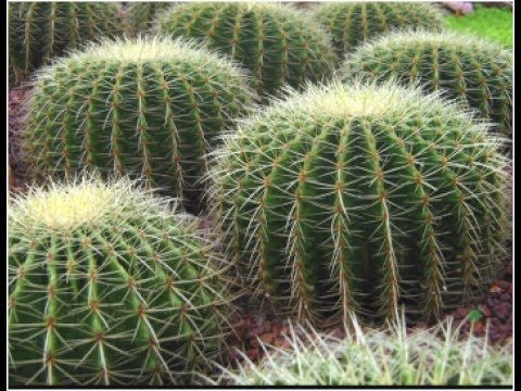 How to Re-porting Cactus Plant & Care , Gardening Sekho in Hindi/Urdu, planning a garden