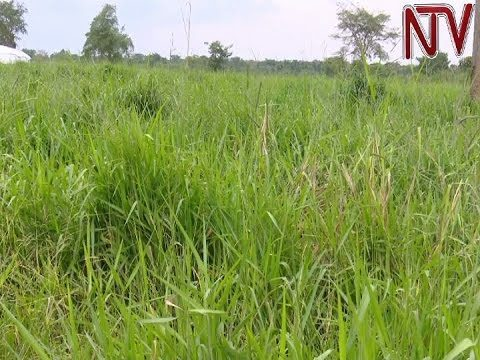 Climate change forces pastoralists in Nakaseke to grow drought resistant grass for their cattle