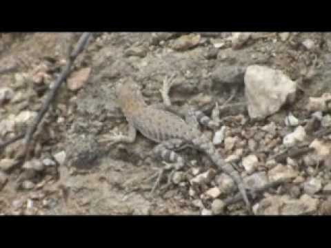 Sabino Canyon Hike, Part II, Lizards & Flowers
