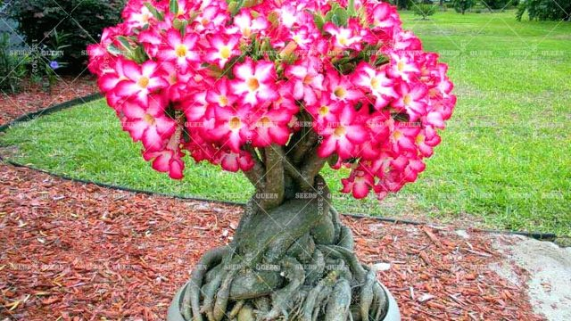 How to Grow Adeniums ( Desert Rose ) From Seed And Cutting – Gardening Tips