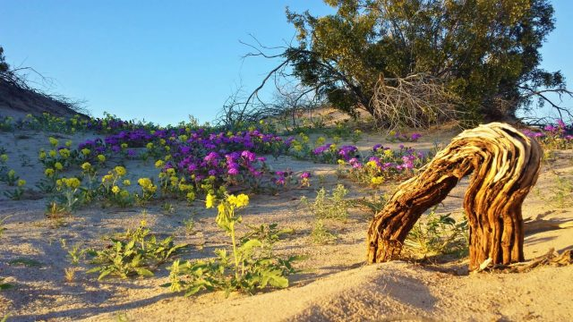 🌻🌵 Exploring Rare Desert Flowers of Anza Borrego Super Bloom