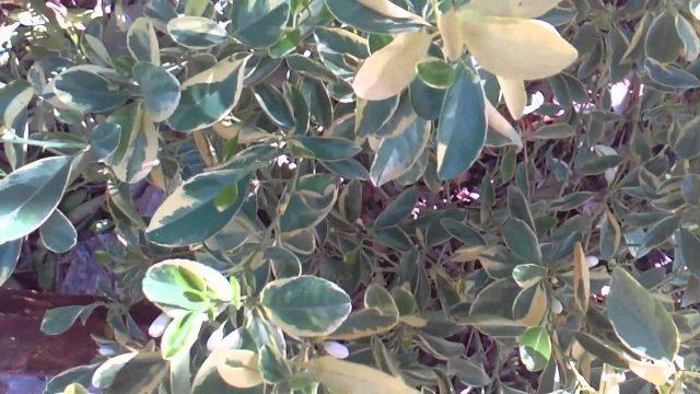 How to get healthy citrus growing in the desert of Phoenix Arizona!