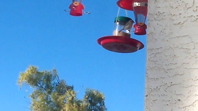 Verdin female drinking from upgraded hummingbird feeder. Phoenix, AZ